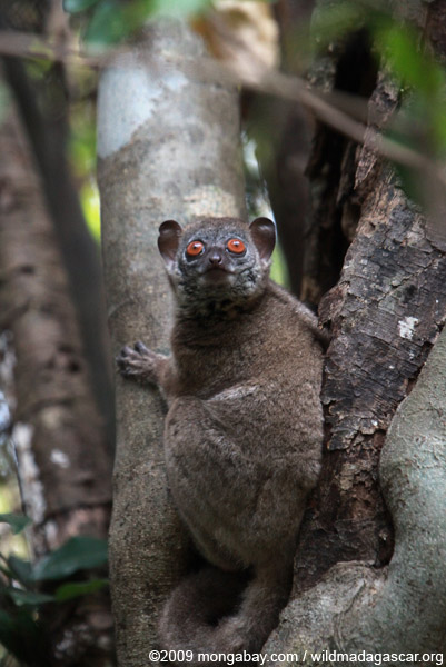 Only 19 northern sportive lemurs survive in the wild. Photo by: Rhett A. Butler.