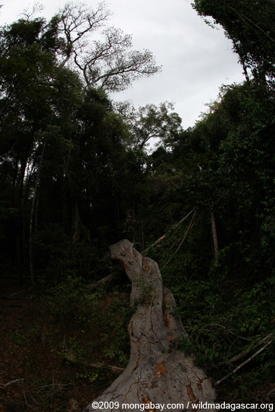Fallen limb of a giant strangler fig tree