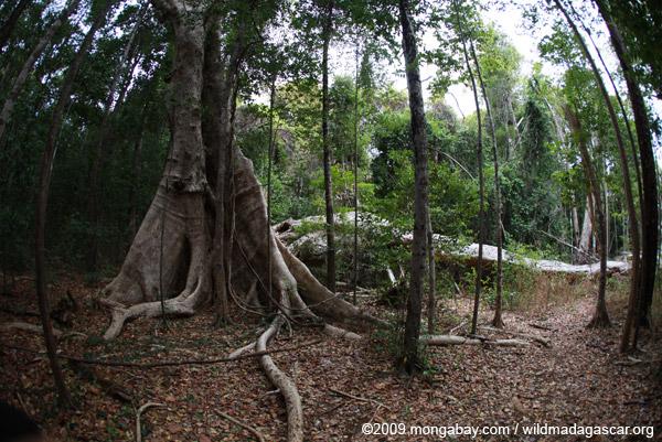 Fallen limb of a giant strangler fig tree