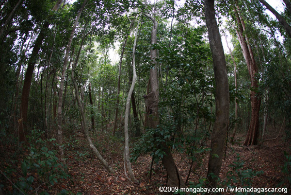 Northern Lepilemur in the Ankarana forest (lemur is in the center of the photo, peeking out of a hollow)