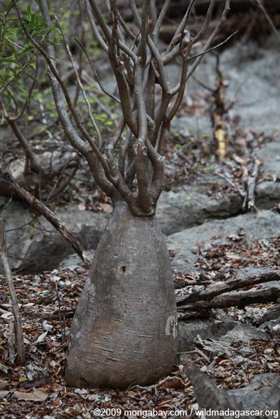 Elephant's Foot (Pachypodium rosulatum)