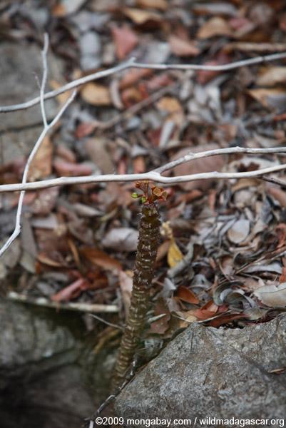Euphorbia ankarensis