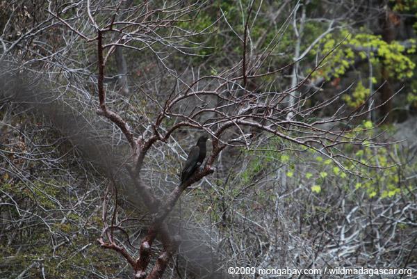 Greater Vasa Parrot (Coracopsis vasa)