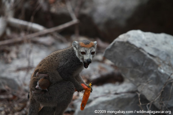 Female crowned lemur, carrying baby, feeding on a mango rind