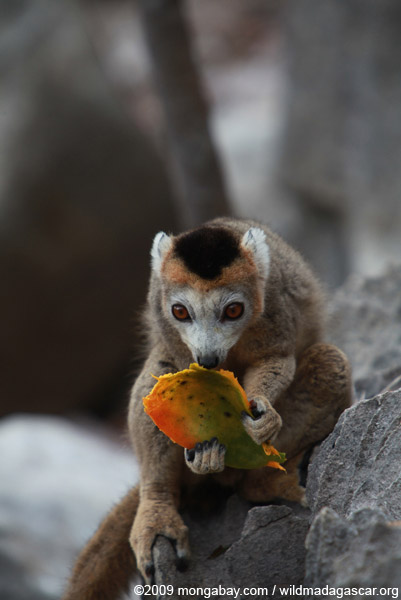 Female crowned lemur feeding on a mango rind