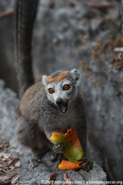 Female crowned lemur tackling a mango. Photo by: Rhett A. Butler. .