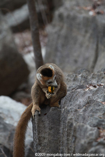 Crowned lemur feeding on a mango rind while perched upon limestone tsingy