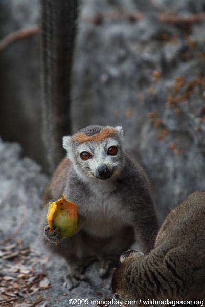 Female crowned lemur feeding on a mango rind while perched upon limestone tsingy