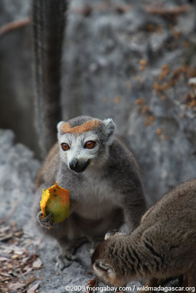 Female crowned lemur feeding on a mango rind while perched upon limestone tsingy