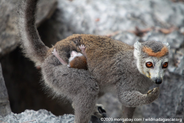 Female crowned lemur with baby. Photo by: Rhett A. Butler.