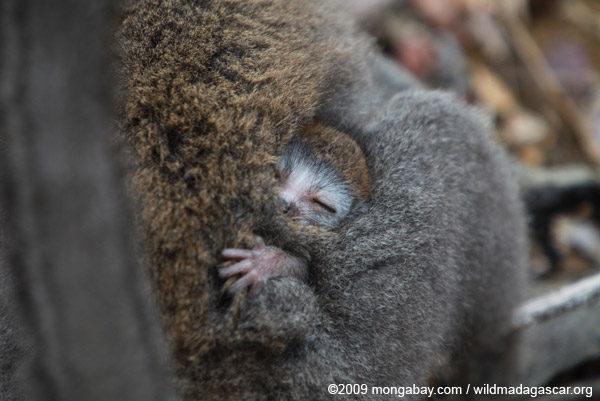 Baby crowned lemur buried in its mother's fur