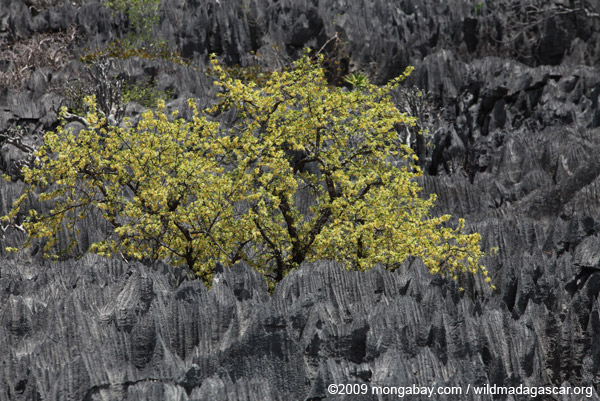 Yellow flowering tree in the tsingy near Lac Vert