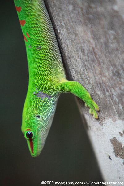 Madagascar giant day gecko (Phelsuma madagascariensis)