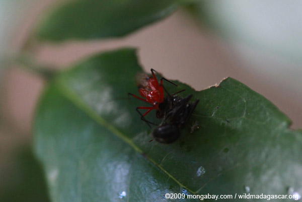 Red insect eating a black wasp