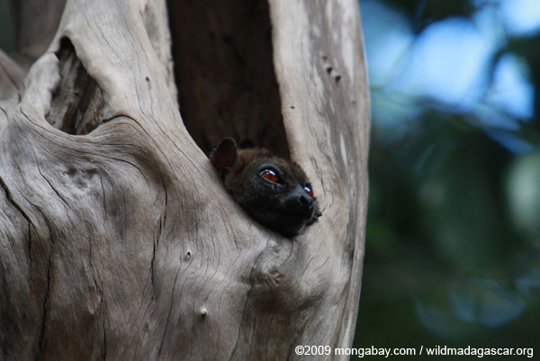 Northern Sportive Lemur (Lepilemur septentrionalis) peering out of a hole in a tree