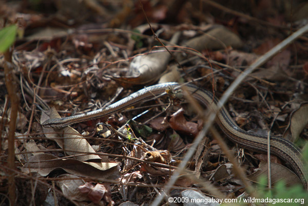 Common Big-eyed Snake (Mimophis mahfalensis)