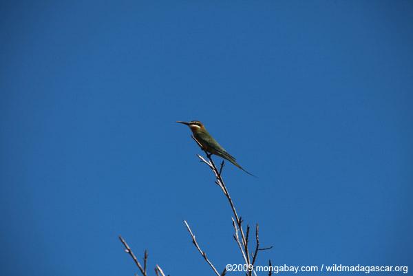 Madagascar Bee-eater (Merops superciliosus)