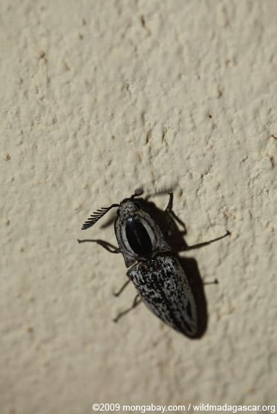 Click beetle, family elateridae