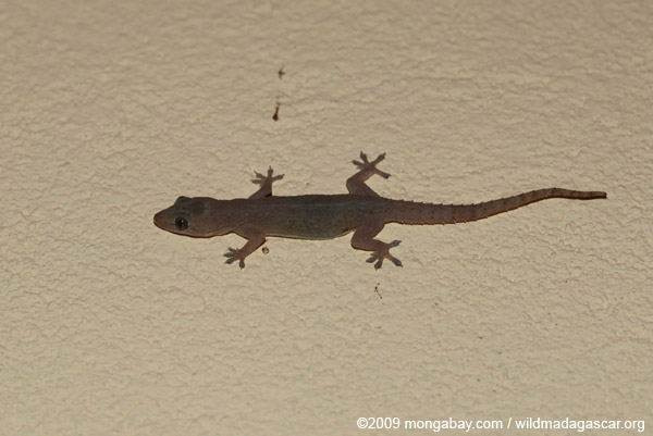 House gecko