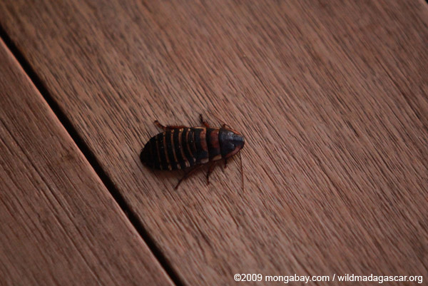 Hissing cockroach in Madagascar