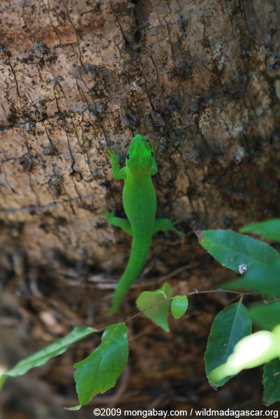 Madagascar giant day gecko (Phelsuma madagascariensis) on Nosy Be