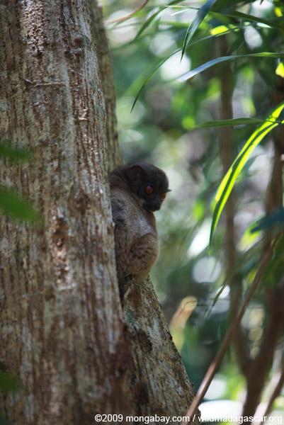 Grey-backed sportive lemur (Lepilemur dorsalis)