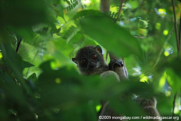 Back-striped Sportive Lemur (Lepilemur dorsalis)