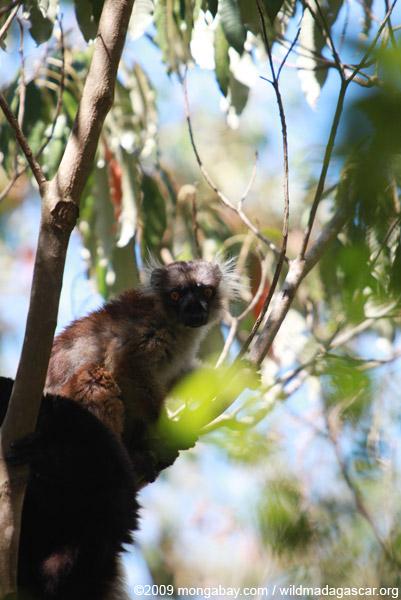 Female black lemur (Eulemur macaco)
