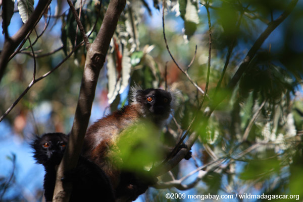 Female black lemur (Eulemur macaco)