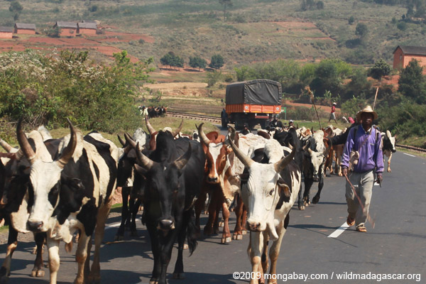 Zebu cattle blocking the road