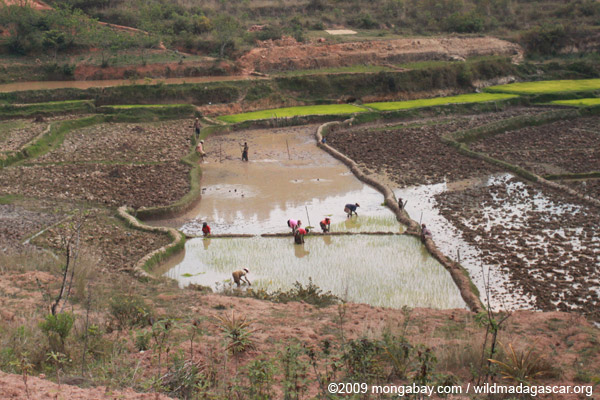 Malagasy working in rice fields