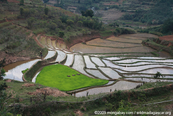 Terraced rice fields along RN7