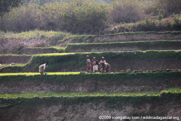 Women working in a terraced rice field