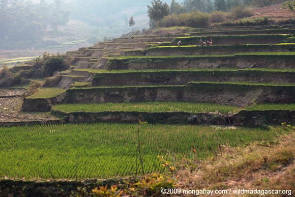 Women working in a terraced rice field