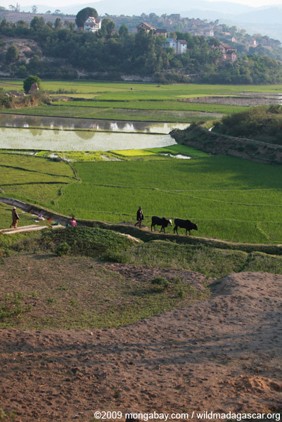 Rice field and zebu cattle
