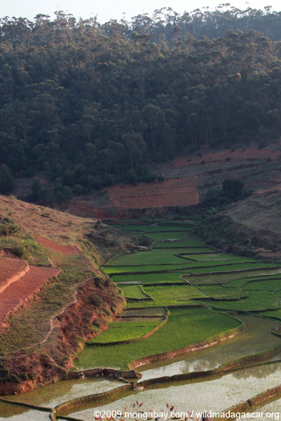 Rice field and eucalptus plantation in the Central Plateau of Madagascar