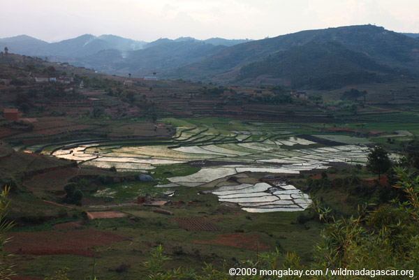 Rice fields in the Central Plateau of Madagascar