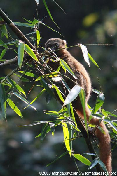 Golden Lemur (Hapalemur aureus)