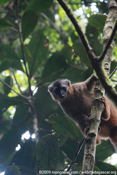 Red-fronted brown lemur in Ranomafana