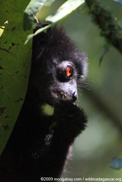 Milne-Edwards' Sifaka (Propithecus edwardsi)