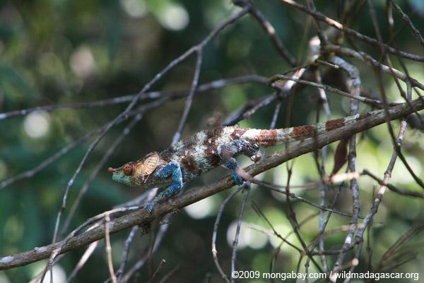 Male Calumma crypticum chameleon