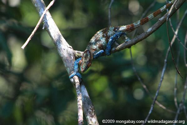 Stunning male Calumma crypticum chameleon