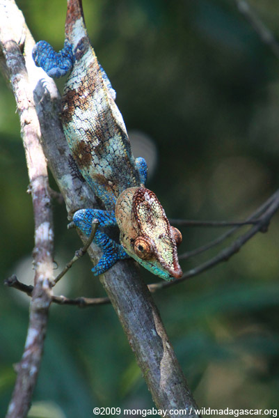 Blue, orange, and green Calumma crypticum chameleon [male]
