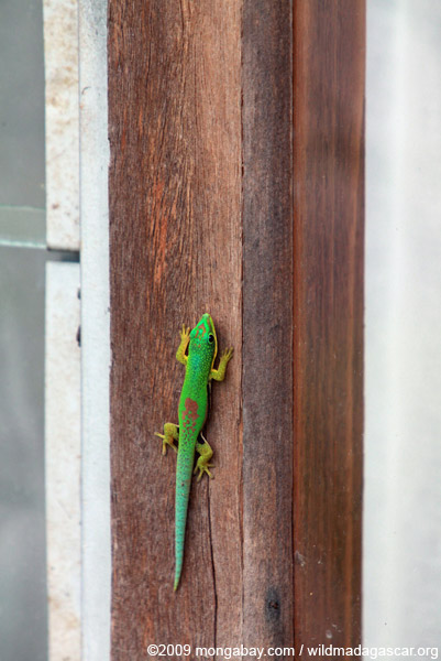 Broad-tailed Day Gecko, Phelsuma laticauda