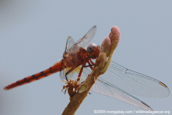 Blue-eyed dragonfly