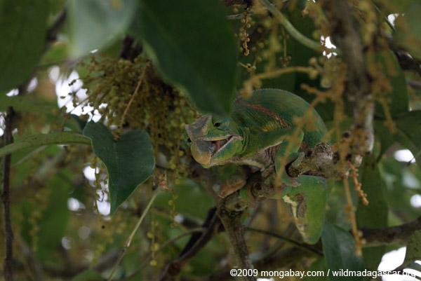 Female Furcifer balteatus preparing to grab an insect