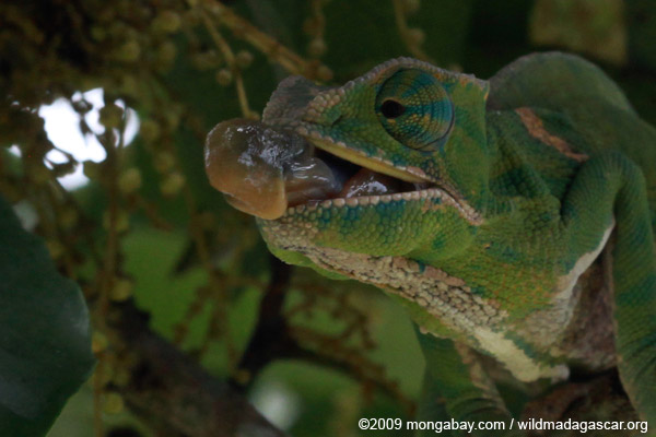 Female Furcifer balteatus shooting out her tongue to grab an insect