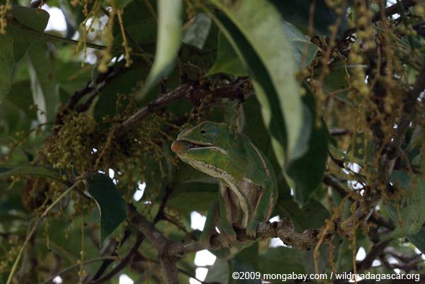 Female Furcifer balteatus preparing to shoot an insect