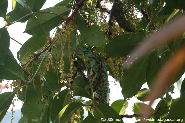 Male Furcifer balteatus chameleon
