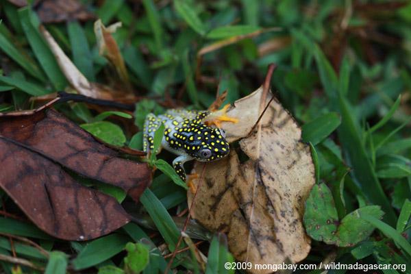 White Spotted Reed Frog (Heterixalus alboguttatus)
